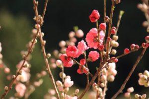 桃,花,花芽,花枝