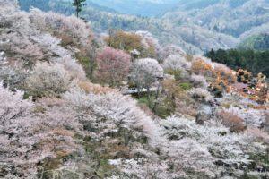 吉野山,桜