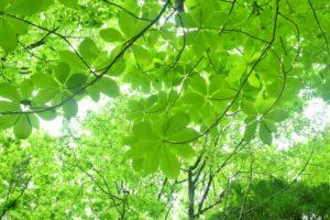 ほお,朴の葉,新緑