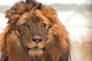 ライオン,自信